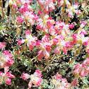 Thyme-leaf Desert Buckwheat