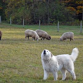 On Duty by Dawn Hoehn Hagler - Animals - Dogs Portraits ( working dog, new england, northeast, dog, sheep )