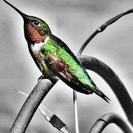 by Diane Merz - Digital Art Animals ( color, nature, bird, manipulation )