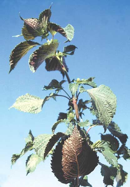 Perilla, or purple mint