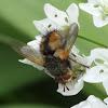 Fly (Tachina)