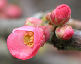 Photo: First quince of the season. (I love flowering quince)