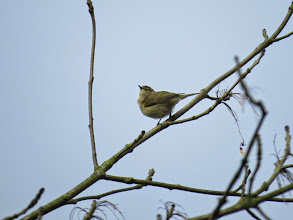 Photo: Priorslee Lake and here is a Chiffchaff also from this morning to compare. From this angle seems to be auditioning for Santa Claus. (Ed Wilson)
