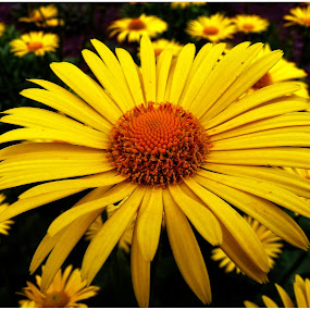 Yellow marguerite by Doreen L - Flowers Flowers in the Wild ( wildflowers, yellow, flowers, garden, marguerite )