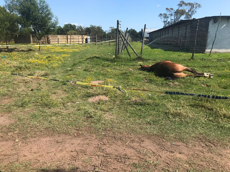 On Thursday morning at around 6am, staff at the Fairview racecourse in Port Elizabeth began a violent protest that culminated in the slaughter of a horse and others being wounded.