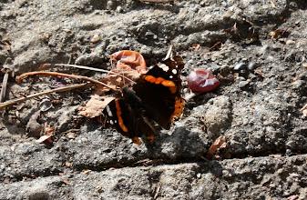 Photo: Vanessa atalanta    Lepidoptera Nymphalidae