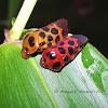 Spittle Bug/ Froghopper