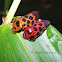 Spittle Bug/ Froghopper