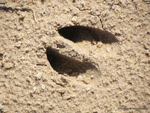 Photo: Deer track by the shores of Lake Superior