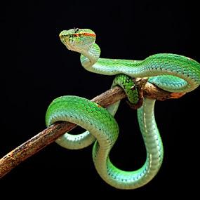 by Shikhei Goh II - Animals Reptiles