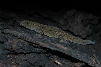 Photo: Ganatodes albogularis (female), Canas Castilla (11:07/-85:36), 10-05-2006, Author: Erwin Holzer, det. Gerardo Chaves