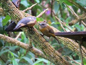 Photo: female Passerini's tanager