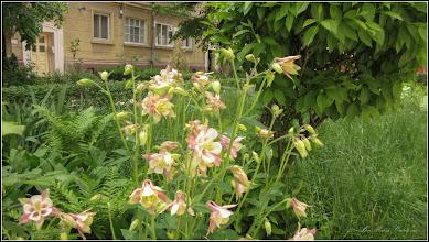 Photo: Căldăruşe, Columbine (Aquilegia vulgaris) - Turda,  Aleea Nicolae Titulescu - 2009.05.09