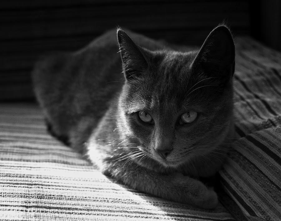 grigetta by Alberto Celotto - Animals - Cats Portraits ( cats, animals, black & white, friluiveneziagiulia, italy,  )