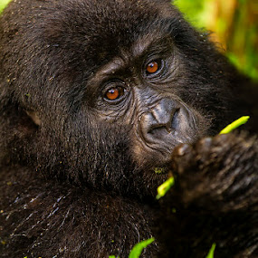 Bwindi Female Mountain Gorilla... by Jamie Link - Animals Other Mammals ( gorilla tracking bwindi, mountain gorilla, rainforest wildlife, gorilla beringei beringei, uganda wildlife authoority, wild gorilla, rwanda gorilla tracking uganda africa, gorilla tracking, infant silverback gorilla, silverback gorilla, rushegura gorilla, national geographic gorilla, african wildlife, bwindi impenetrable forest )