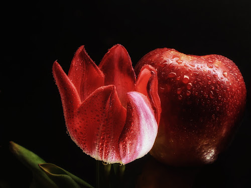 Red Tulip vrs Red Apple by Dave Walters - Artistic Objects Still Life ( red, nature, still life, apple, tulip, lumix fz2500 )