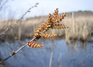 Photo: Male sweet gale flowers, Myrica gale, 4.20