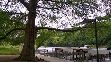 Photo: 300 year old cypress tree, glass bottom boats, Spring Lake, San Marcos