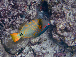 Photo: lined triggerfish