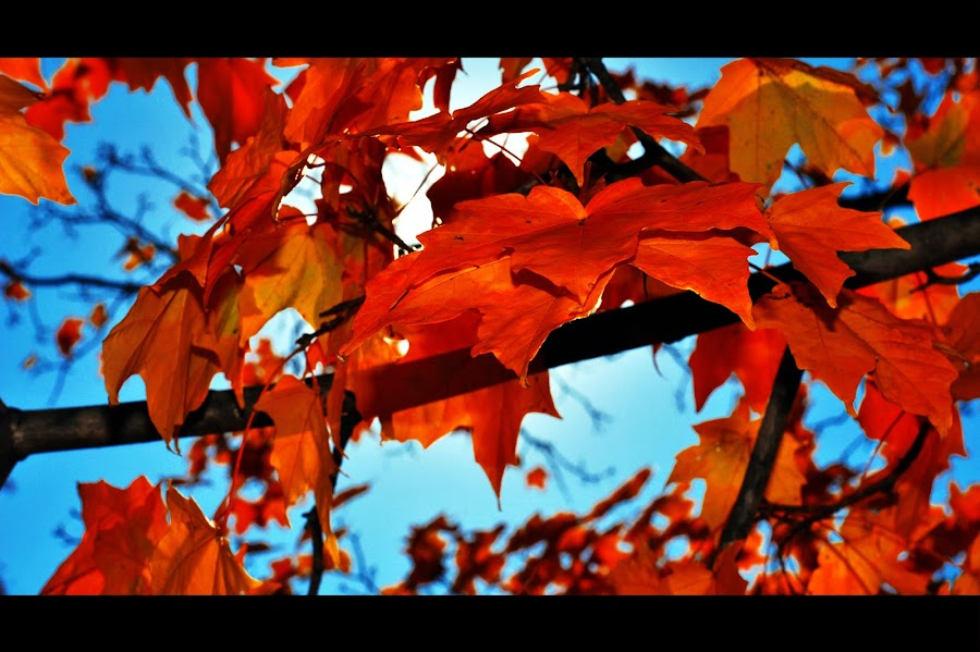 The Beautiful Colors of Fall by Abhishek Kumar - Nature Up Close Leaves & Grasses ( orange, charlottesville, fall, virginia, leaves )