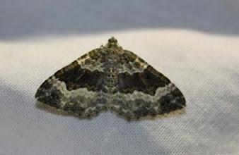 Photo: Epirrhoe alternata    Lepidoptera > Geometridae