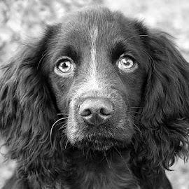 Little Grey One by Chrissie Barrow - Black & White Animals ( monochrome, black and white, cocker spaniel, pet, ears, dog, mono, nose, portrait, eyes, animal )