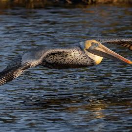 Brown Pelican by Don Young - Animals Birds ( brown pelican, flight, nature, bird photography, bird )