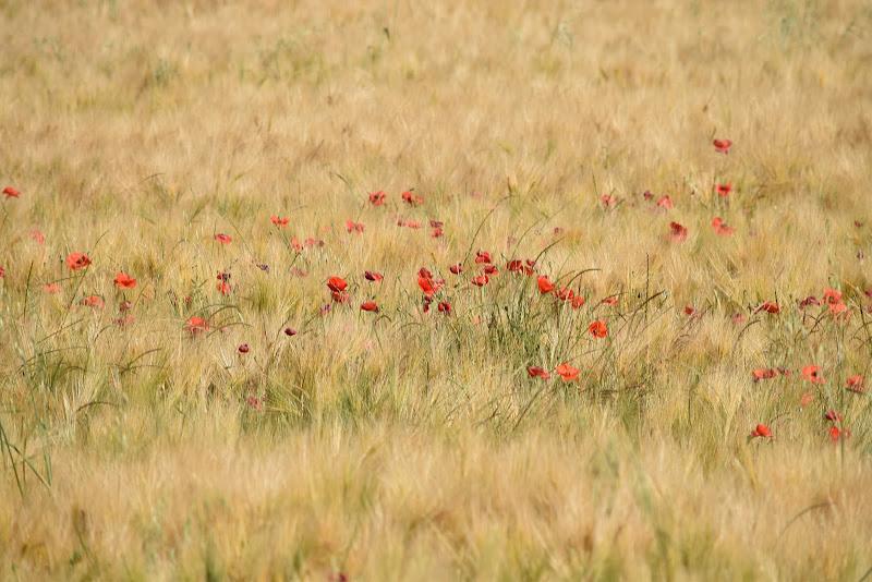 campo di papaveri- monet di irina sirbu