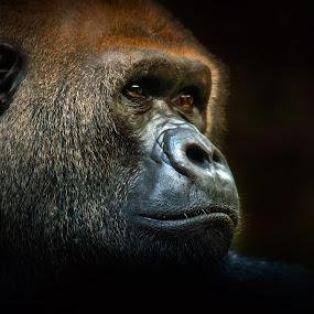 Loro 01 by BO LED - Animals Other Mammals ( face, nature, ape, gorilla, eyes, animal,  )