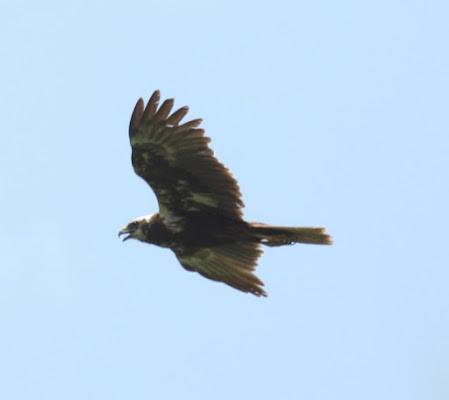 Falco della palude di bodaboda