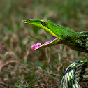 Common Green Vine Snake