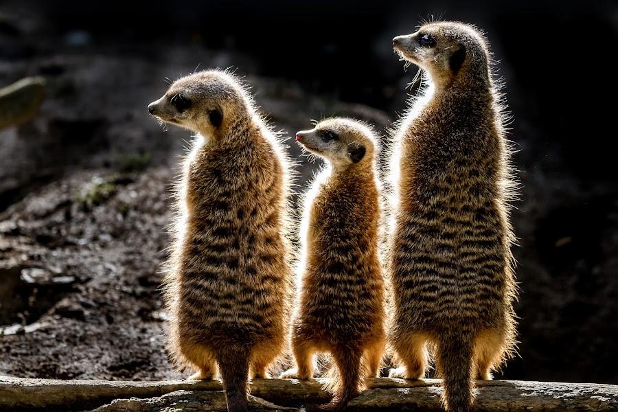 Harmony by Thorsten Scheel - Animals Other Mammals ( zoo, meerkat, hof )