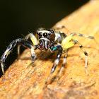 Phintella Jumping Spider