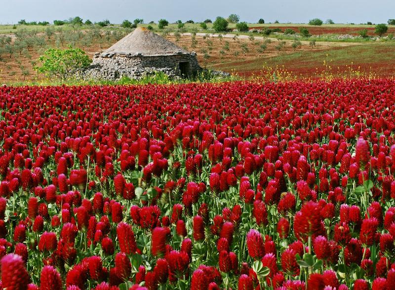 Trifolium Pratens a fine aprile di Diana Cimino Cocco