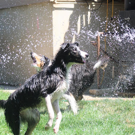 by Snow Losh - Animals - Dogs Playing