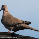 Collared Dove; Tórtola Turca