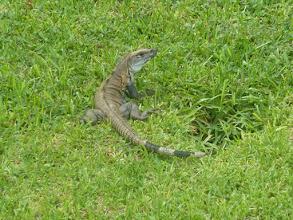 Photo: Leguan im Hotelgarten