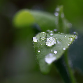 dew by Francis Edroso - Nature Up Close Leaves & Grasses