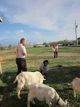 Photo: Entertained by goats. The dog stays at a distance.