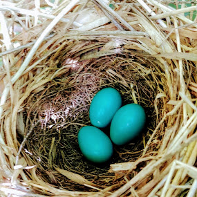 Catbird Eggs by Rita Goebert - Nature Up Close Hives & Nests ( catbird eggs; bird nests; turquoise eggs july nesting;;,  )