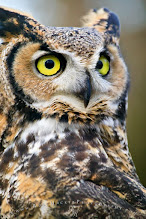 Photo: I almost forgot - it is #WildlifeWednesday, my first one since I'm on G+ so I don't want to miss it. My contribution today is a picture of the Great Horned Owl - and NO - I HAVE NOT manipulated the eyes. Hope you like it - feel free to share (thanks!) #animals #birds #WildlifeWednesday