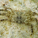 Tidal Spray Crab
