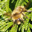 Yellowhead bumblebee