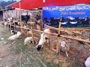 Photo: Corderos a la venta en las carreteras. Muchos serán sacrificados en la fiesta musulmana Idul Adha o ¨La Celebración del Sacrificio¨.