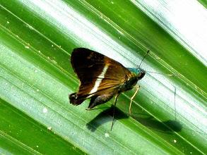 Photo: CORUSCA SKIPPER--oxynthes corusca--EL JARDIN GARDENS, PUYA--id by Andrew Neild