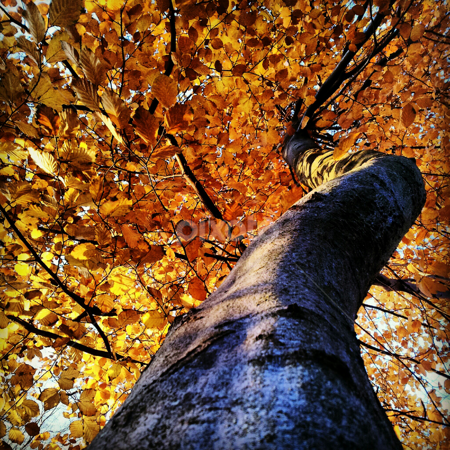 The autumn tree by Julija Moroza Broberg - Nature Up Close Trees & Bushes ( orange, tree, autumn, perspective, view, leaves )