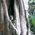 Southern Tree Hyrax