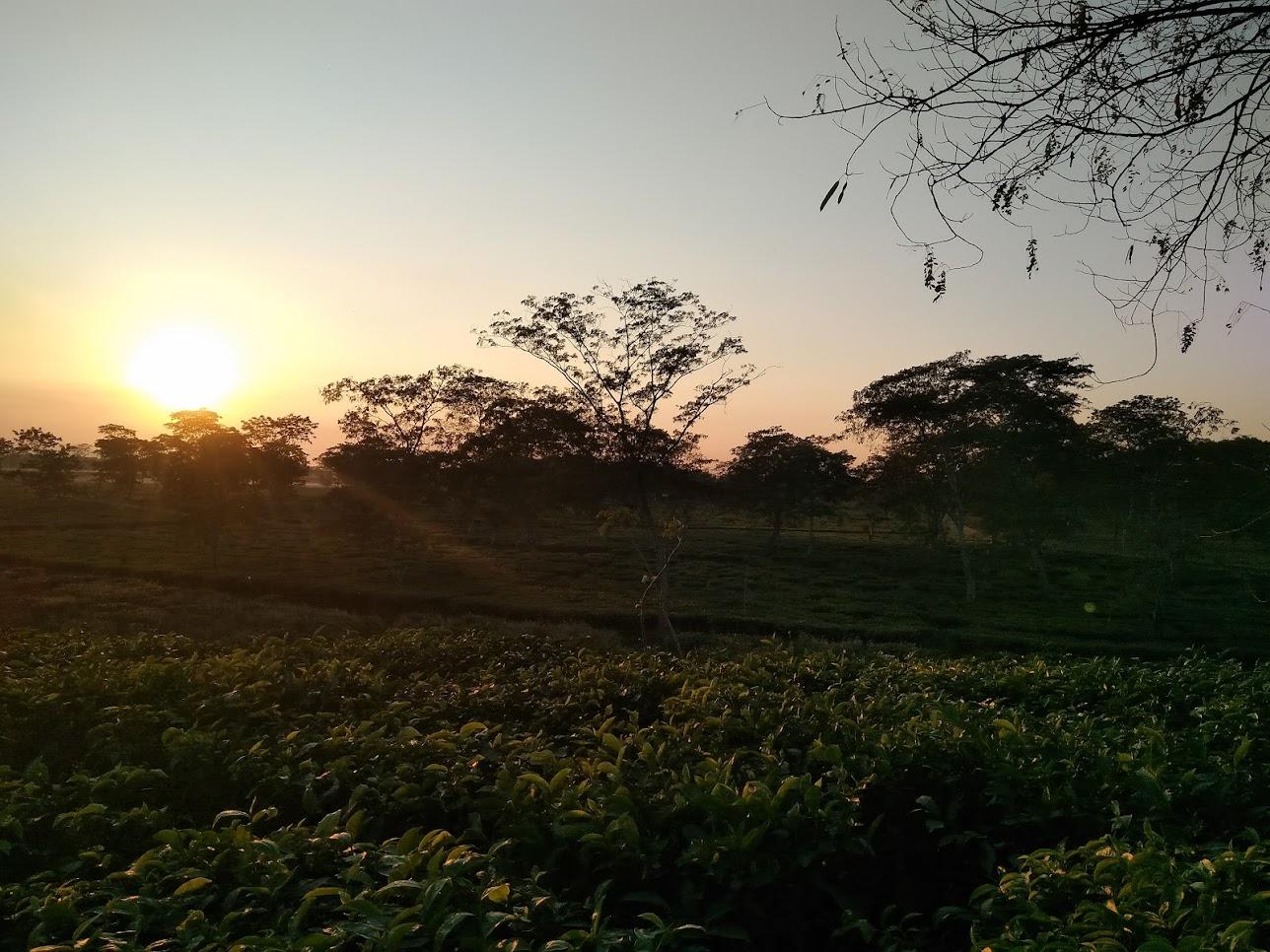 夕日のお茶畑