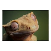 COMPLETE GUIDE CRESTED GECKO