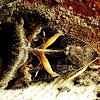 Indomitable Melipotis
